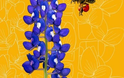 I skipped ahead alphabetically and drew the Texas bluebonnet since the season for them has just begun!
