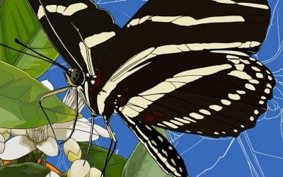 A couple of zebra lingering butterflies landed on my orange blossoms last night. Florida state flowers and insect.