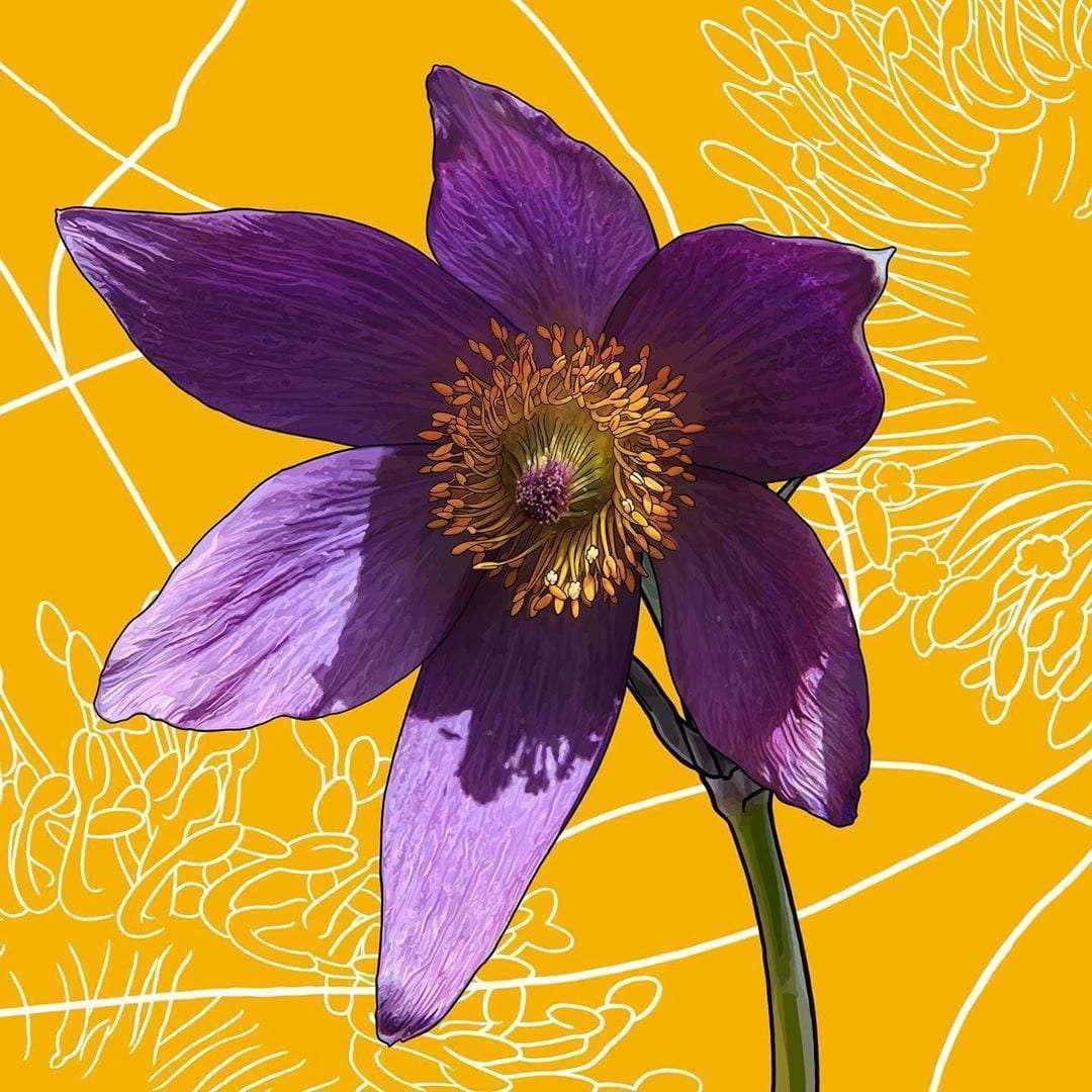 Say hello to South Dakota's state flower, the Pasque.